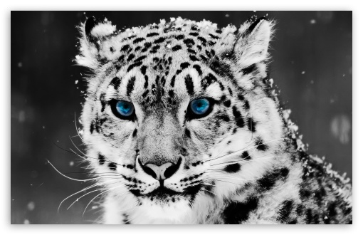 Snow Leopard - Black And White Portrait HD wallpaper for Wide 16:10 5:3 Widescreen WHXGA WQXGA WUXGA WXGA WGA ; HD 16:9 High Definition WQHD QWXGA 1080p 900p 720p QHD nHD ; Standard 4:3 5:4 3:2 Fullscreen UXGA XGA SVGA QSXGA SXGA DVGA HVGA HQVGA devices ( Apple PowerBook G4 iPhone 4 3G 3GS iPod Touch ) ; iPad 1/2/Mini ; Mobile 4:3 5:3 3:2 16:9 5:4 - UXGA XGA SVGA WGA DVGA HVGA HQVGA devices ( Apple PowerBook G4 iPhone 4 3G 3GS iPod Touch ) WQHD QWXGA 1080p 900p 720p QHD nHD QSXGA SXGA ;