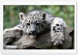 Snow Leopard Cub HD Wide Wallpaper for 4K UHD Widescreen desktop & smartphone
