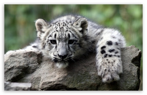 Snow Leopard Cub HD wallpaper for Standard 4:3 5:4 Fullscreen UXGA XGA SVGA QSXGA SXGA ; Wide 16:10 5:3 Widescreen WHXGA WQXGA WUXGA WXGA WGA ; HD 16:9 High Definition WQHD QWXGA 1080p 900p 720p QHD nHD ; Other 3:2 DVGA HVGA HQVGA devices ( Apple PowerBook G4 iPhone 4 3G 3GS iPod Touch ) ; Mobile VGA WVGA iPhone iPad PSP Phone - VGA QVGA Smartphone ( PocketPC GPS iPod Zune BlackBerry HTC Samsung LG Nokia Eten Asus ) WVGA WQVGA Smartphone ( HTC Samsung Sony Ericsson LG Vertu MIO ) HVGA Smartphone ( Apple iPhone iPod BlackBerry HTC Samsung Nokia ) Sony PSP Zune HD Zen ;