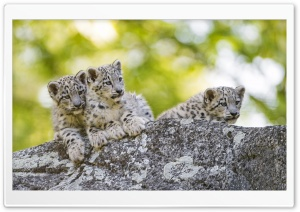 Snow Leopard Cubs Wild Animals Ultra HD Wallpaper for 4K UHD Widescreen desktop, tablet & smartphone