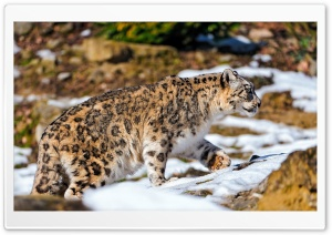 Snow Leopard Exploring The Snowy Enclosure HD Wide Wallpaper for Widescreen