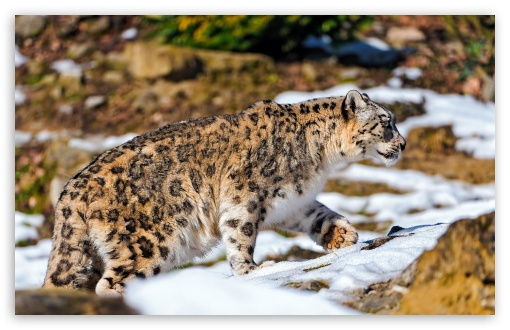 Snow Leopard Exploring The Snowy Enclosure HD wallpaper for Wide 16:10 5:3 Widescreen WHXGA WQXGA WUXGA WXGA WGA ; HD 16:9 High Definition WQHD QWXGA 1080p 900p 720p QHD nHD ; Standard 4:3 5:4 Fullscreen UXGA XGA SVGA QSXGA SXGA ; MS 3:2 DVGA HVGA HQVGA devices ( Apple PowerBook G4 iPhone 4 3G 3GS iPod Touch ) ; Mobile VGA WVGA iPhone iPad PSP Phone - VGA QVGA Smartphone ( PocketPC GPS iPod Zune BlackBerry HTC Samsung LG Nokia Eten Asus ) WVGA WQVGA Smartphone ( HTC Samsung Sony Ericsson LG Vertu MIO ) HVGA Smartphone ( Apple iPhone iPod BlackBerry HTC Samsung Nokia ) Sony PSP Zune HD Zen ; Tablet 1&2 Android ; Dual 4:3 5:4 UXGA XGA SVGA QSXGA SXGA ;