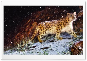 Snow Leopard Flurries HD Wide Wallpaper for Widescreen