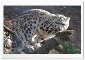 Snow Leopard, Hellbrunn Salzburg HD Wide Wallpaper for Widescreen