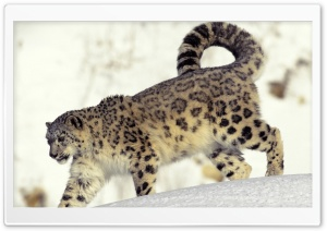 Snow Leopard In Snow HD Wide Wallpaper for 4K UHD Widescreen desktop & smartphone