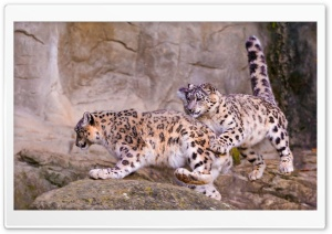 Snow Leopard Jumping HD Wide Wallpaper for Widescreen