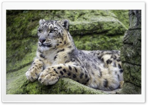 Snow Leopard knows how to Pose Ultra HD Wallpaper for 4K UHD Widescreen desktop, tablet & smartphone