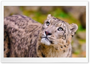 Snow Leopard Looking Up HD Wide Wallpaper for Widescreen