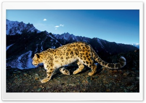 Snow Leopard Prowl HD Wide Wallpaper for Widescreen