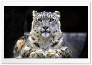 Snow Leopard Sitting On A Rock HD Wide Wallpaper for Widescreen
