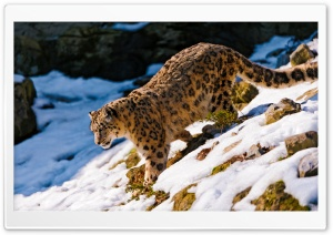 Snow Leopard Walking Down HD Wide Wallpaper for Widescreen