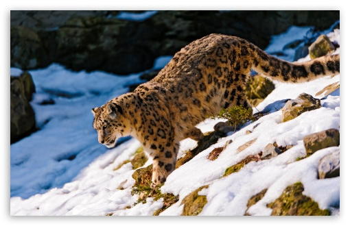Snow Leopard Walking Down HD wallpaper for Wide 16:10 5:3 Widescreen WHXGA WQXGA WUXGA WXGA WGA ; HD 16:9 High Definition WQHD QWXGA 1080p 900p 720p QHD nHD ; UHD 16:9 WQHD QWXGA 1080p 900p 720p QHD nHD ; Standard 4:3 5:4 3:2 Fullscreen UXGA XGA SVGA QSXGA SXGA DVGA HVGA HQVGA devices ( Apple PowerBook G4 iPhone 4 3G 3GS iPod Touch ) ; Tablet 1:1 ; iPad 1/2/Mini ; Mobile 4:3 5:3 3:2 16:9 5:4 - UXGA XGA SVGA WGA DVGA HVGA HQVGA devices ( Apple PowerBook G4 iPhone 4 3G 3GS iPod Touch ) WQHD QWXGA 1080p 900p 720p QHD nHD QSXGA SXGA ;