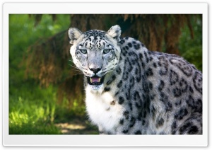 Snow Leopard Wild Animal HD Wide Wallpaper for Widescreen