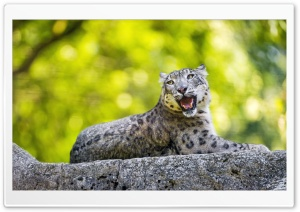 Snow Leopard Wild Animal on the Stone Ultra HD Wallpaper for 4K UHD Widescreen desktop, tablet & smartphone