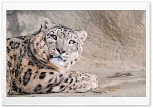 Snow Leopard With Blue Eyes HD Wide Wallpaper for Widescreen