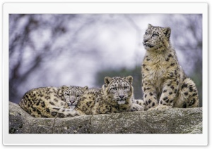 Snow Leopards Ultra HD Wallpaper for 4K UHD Widescreen desktop, tablet & smartphone