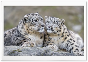 Snow Leopards Affection Ultra HD Wallpaper for 4K UHD Widescreen desktop, tablet & smartphone
