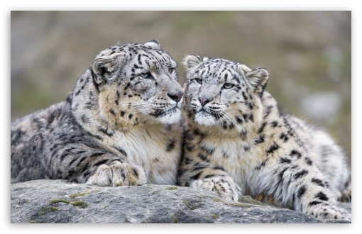 Snow Leopards Affection UltraHD Wallpaper for Wide 16:10 5:3 Widescreen WHXGA WQXGA WUXGA WXGA WGA ; 8K UHD TV 16:9 Ultra High Definition 2160p 1440p 1080p 900p 720p ; UHD 16:9 2160p 1440p 1080p 900p 720p ; Standard 4:3 5:4 3:2 Fullscreen UXGA XGA SVGA QSXGA SXGA DVGA HVGA HQVGA ( Apple PowerBook G4 iPhone 4 3G 3GS iPod Touch ) ; Tablet 1:1 ; iPad 1/2/Mini ; Mobile 4:3 5:3 3:2 16:9 5:4 - UXGA XGA SVGA WGA DVGA HVGA HQVGA ( Apple PowerBook G4 iPhone 4 3G 3GS iPod Touch ) 2160p 1440p 1080p 900p 720p QSXGA SXGA ;