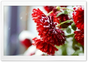 Snow Over Red Flowers HD Wide Wallpaper for Widescreen