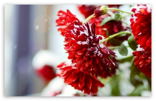 Snow Over Red Flowers HD wallpaper for Wide 16:10 5:3 Widescreen WHXGA WQXGA WUXGA WXGA WGA ; HD 16:9 High Definition WQHD QWXGA 1080p 900p 720p QHD nHD ; Standard 4:3 5:4 Fullscreen UXGA XGA SVGA QSXGA SXGA ; MS 3:2 DVGA HVGA HQVGA devices ( Apple PowerBook G4 iPhone 4 3G 3GS iPod Touch ) ; Mobile VGA WVGA iPhone iPad PSP Phone - VGA QVGA Smartphone ( PocketPC GPS iPod Zune BlackBerry HTC Samsung LG Nokia Eten Asus ) WVGA WQVGA Smartphone ( HTC Samsung Sony Ericsson LG Vertu MIO ) HVGA Smartphone ( Apple iPhone iPod BlackBerry HTC Samsung Nokia ) Sony PSP Zune HD Zen ; Tablet 1&2 ;