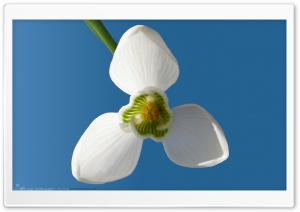 Snowdrop HD Wide Wallpaper for Widescreen