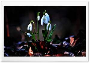 Snowdrop HD Wide Wallpaper for 4K UHD Widescreen desktop & smartphone