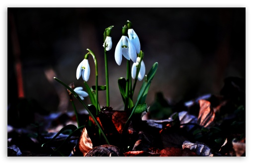 Snowdrop HD wallpaper for Wide 16:10 5:3 Widescreen WHXGA WQXGA WUXGA WXGA WGA ; HD 16:9 High Definition WQHD QWXGA 1080p 900p 720p QHD nHD ; UHD 16:9 WQHD QWXGA 1080p 900p 720p QHD nHD ; Standard 4:3 5:4 3:2 Fullscreen UXGA XGA SVGA QSXGA SXGA DVGA HVGA HQVGA devices ( Apple PowerBook G4 iPhone 4 3G 3GS iPod Touch ) ; Tablet 1:1 ; iPad 1/2/Mini ; Mobile 4:3 5:3 3:2 16:9 5:4 - UXGA XGA SVGA WGA DVGA HVGA HQVGA devices ( Apple PowerBook G4 iPhone 4 3G 3GS iPod Touch ) WQHD QWXGA 1080p 900p 720p QHD nHD QSXGA SXGA ;