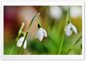 Snowdrop Bokeh HD Wide Wallpaper for Widescreen