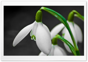 Snowdrop Flower HD Wide Wallpaper for 4K UHD Widescreen desktop & smartphone