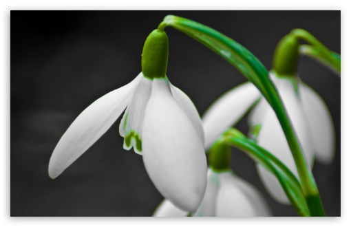 Snowdrop Flower HD wallpaper for Wide 16:10 5:3 Widescreen WHXGA WQXGA WUXGA WXGA WGA ; HD 16:9 High Definition WQHD QWXGA 1080p 900p 720p QHD nHD ; Standard 4:3 5:4 3:2 Fullscreen UXGA XGA SVGA QSXGA SXGA DVGA HVGA HQVGA devices ( Apple PowerBook G4 iPhone 4 3G 3GS iPod Touch ) ; Tablet 1:1 ; iPad 1/2/Mini ; Mobile 4:3 5:3 3:2 16:9 5:4 - UXGA XGA SVGA WGA DVGA HVGA HQVGA devices ( Apple PowerBook G4 iPhone 4 3G 3GS iPod Touch ) WQHD QWXGA 1080p 900p 720p QHD nHD QSXGA SXGA ;