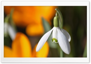 Snowdrop Flower HD Wide Wallpaper for Widescreen