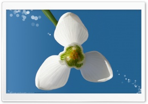 Snowdrop II HD Wide Wallpaper for Widescreen