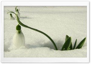 Snowdrop In Snow HD Wide Wallpaper for Widescreen