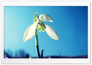 Snowdrop, Spring HD Wide Wallpaper for 4K UHD Widescreen desktop & smartphone