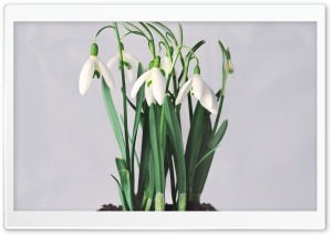 Snowdrops HD Wide Wallpaper for Widescreen