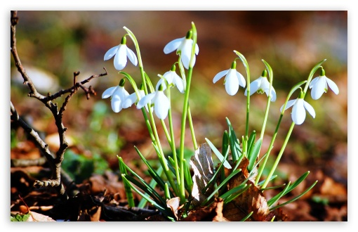 Snowdrops HD wallpaper for Wide 16:10 5:3 Widescreen WHXGA WQXGA WUXGA WXGA WGA ; HD 16:9 High Definition WQHD QWXGA 1080p 900p 720p QHD nHD ; Standard 4:3 5:4 3:2 Fullscreen UXGA XGA SVGA QSXGA SXGA DVGA HVGA HQVGA devices ( Apple PowerBook G4 iPhone 4 3G 3GS iPod Touch ) ; Tablet 1:1 ; iPad 1/2/Mini ; Mobile 4:3 5:3 3:2 16:9 5:4 - UXGA XGA SVGA WGA DVGA HVGA HQVGA devices ( Apple PowerBook G4 iPhone 4 3G 3GS iPod Touch ) WQHD QWXGA 1080p 900p 720p QHD nHD QSXGA SXGA ;