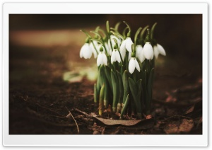 Snowdrops Ultra HD Wallpaper for 4K UHD Widescreen desktop, tablet & smartphone