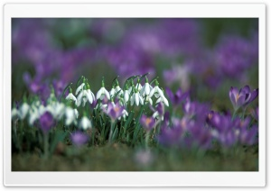 Snowdrops And Crocuses HD Wide Wallpaper for Widescreen
