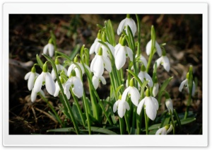 Snowdrops Bundle HD Wide Wallpaper for Widescreen