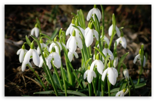 Snowdrops Bundle ❤ 4K UHD Wallpaper for Wide 16:10 5:3 Widescreen WHXGA WQXGA WUXGA WXGA WGA ; 4K UHD 16:9 Ultra High Definition 2160p 1440p 1080p 900p 720p ; Standard 4:3 5:4 3:2 Fullscreen UXGA XGA SVGA QSXGA SXGA DVGA HVGA HQVGA ( Apple PowerBook G4 iPhone 4 3G 3GS iPod Touch ) ; Tablet 1:1 ; iPad 1/2/Mini ; Mobile 4:3 5:3 3:2 16:9 5:4 - UXGA XGA SVGA WGA DVGA HVGA HQVGA ( Apple PowerBook G4 iPhone 4 3G 3GS iPod Touch ) 2160p 1440p 1080p 900p 720p QSXGA SXGA ;