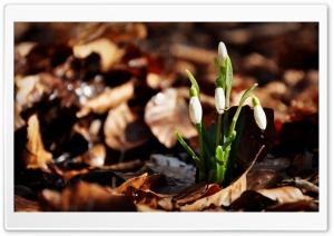 Snowdrops Dried Leaves HD Wide Wallpaper for 4K UHD Widescreen desktop & smartphone