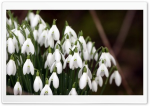 Snowdrops Flowers HD Wide Wallpaper for Widescreen