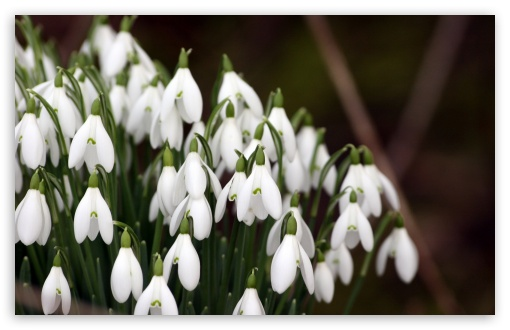 Snowdrops Flowers ❤ 4K UHD Wallpaper for Wide 16:10 5:3 Widescreen WHXGA WQXGA WUXGA WXGA WGA ; 4K UHD 16:9 Ultra High Definition 2160p 1440p 1080p 900p 720p ; Standard 4:3 5:4 3:2 Fullscreen UXGA XGA SVGA QSXGA SXGA DVGA HVGA HQVGA ( Apple PowerBook G4 iPhone 4 3G 3GS iPod Touch ) ; Tablet 1:1 ; iPad 1/2/Mini ; Mobile 4:3 5:3 3:2 16:9 5:4 - UXGA XGA SVGA WGA DVGA HVGA HQVGA ( Apple PowerBook G4 iPhone 4 3G 3GS iPod Touch ) 2160p 1440p 1080p 900p 720p QSXGA SXGA ; Dual 5:4 QSXGA SXGA ;