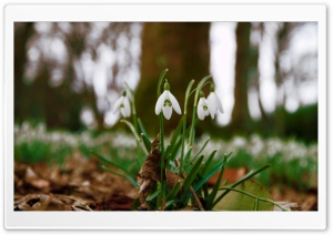 Snowdrops In Queens Park, Scotland HD Wide Wallpaper for 4K UHD Widescreen desktop & smartphone