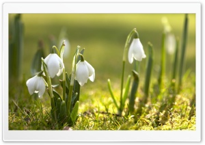 Snowdrops In Sunlight HD Wide Wallpaper for Widescreen
