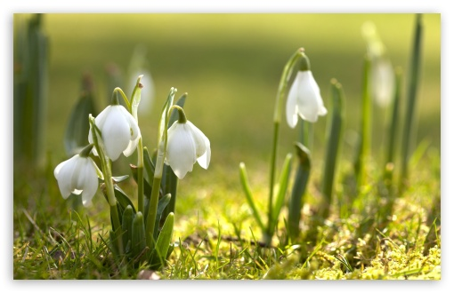 Snowdrops In Sunlight HD wallpaper for Wide 16:10 5:3 Widescreen WHXGA WQXGA WUXGA WXGA WGA ; HD 16:9 High Definition WQHD QWXGA 1080p 900p 720p QHD nHD ; Standard 4:3 5:4 3:2 Fullscreen UXGA XGA SVGA QSXGA SXGA DVGA HVGA HQVGA devices ( Apple PowerBook G4 iPhone 4 3G 3GS iPod Touch ) ; Tablet 1:1 ; iPad 1/2/Mini ; Mobile 4:3 5:3 3:2 16:9 5:4 - UXGA XGA SVGA WGA DVGA HVGA HQVGA devices ( Apple PowerBook G4 iPhone 4 3G 3GS iPod Touch ) WQHD QWXGA 1080p 900p 720p QHD nHD QSXGA SXGA ;