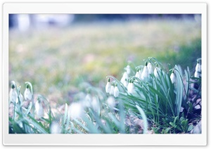 Snowdrops In The Grass HD Wide Wallpaper for Widescreen