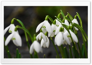 Snowdrops Macro HD Wide Wallpaper for Widescreen