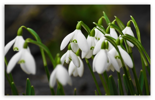 Snowdrops Macro ❤ 4K UHD Wallpaper for Wide 16:10 5:3 Widescreen WHXGA WQXGA WUXGA WXGA WGA ; 4K UHD 16:9 Ultra High Definition 2160p 1440p 1080p 900p 720p ; Standard 4:3 3:2 Fullscreen UXGA XGA SVGA DVGA HVGA HQVGA ( Apple PowerBook G4 iPhone 4 3G 3GS iPod Touch ) ; Tablet 1:1 ; iPad 1/2/Mini ; Mobile 4:3 5:3 3:2 16:9 - UXGA XGA SVGA WGA DVGA HVGA HQVGA ( Apple PowerBook G4 iPhone 4 3G 3GS iPod Touch ) 2160p 1440p 1080p 900p 720p ;