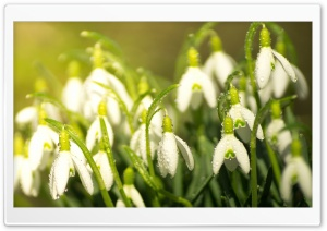 Snowdrops Spring HD Wide Wallpaper for Widescreen